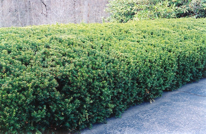 Chadwick S Yew Taxus X Media Chadwickii In Raleigh
