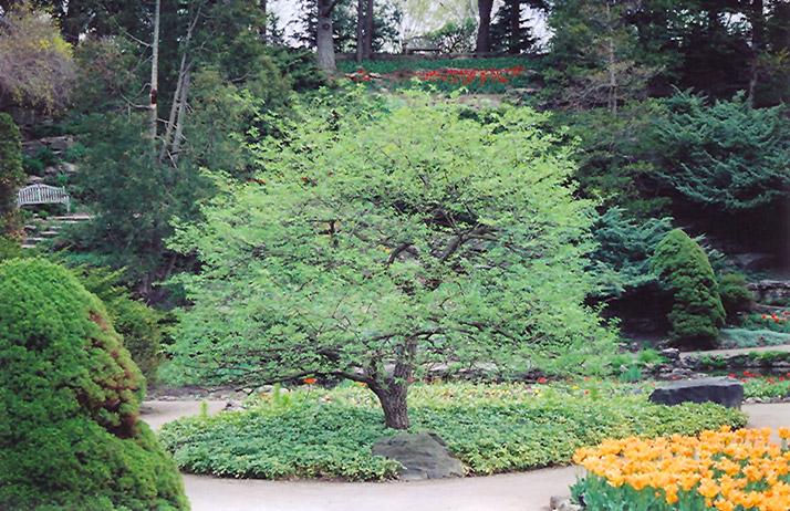 Aldenhamensis Spindle Tree Euonymus europaeus var aldenhamensis