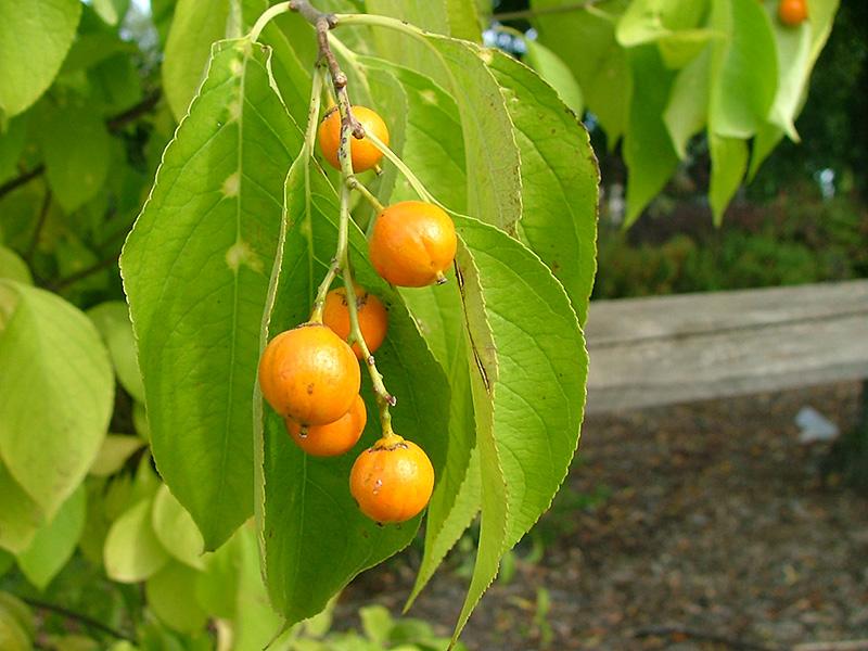 Sweet Tangerine American Bittersweet Celastrus Scandens