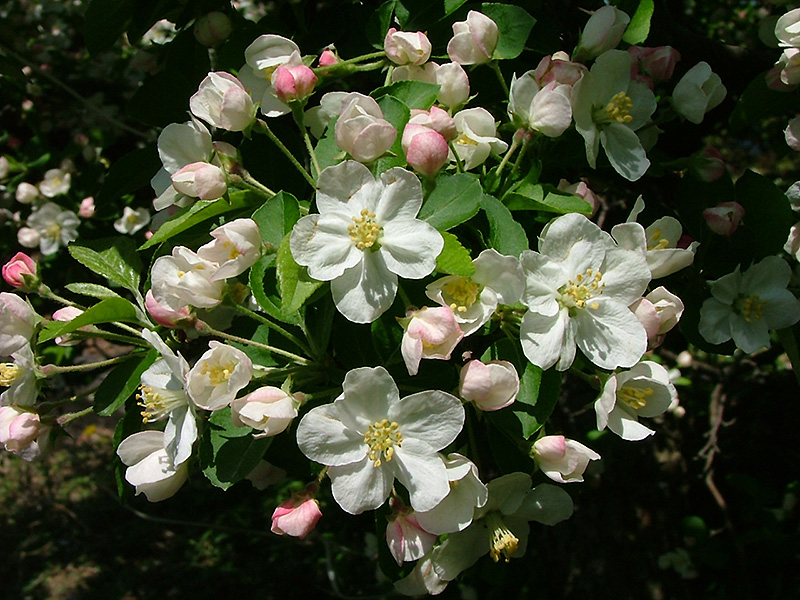 King Arthur Flowering Crab Malus Kinarzam In Raleigh