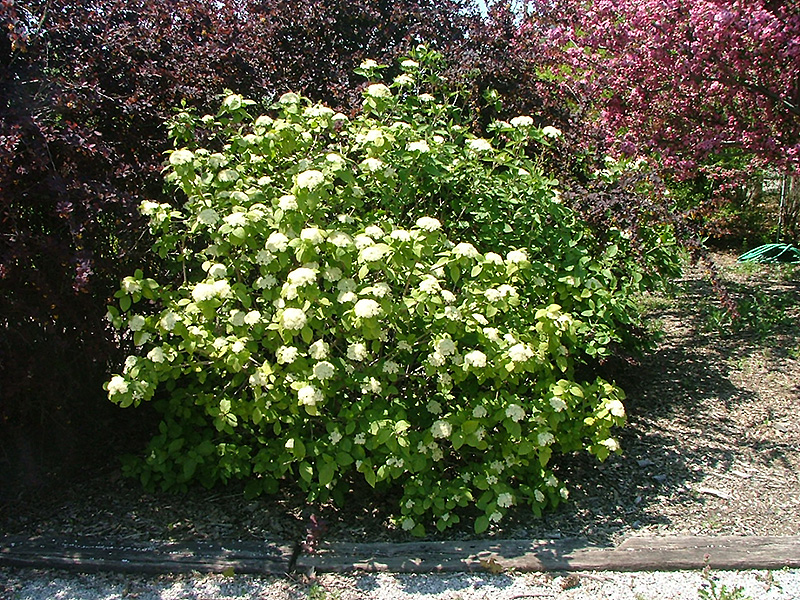 Viburnum lantana 'Mohican' Mohican Viburnum from Midwest Groundcovers
