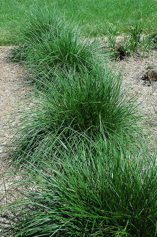 Tufted Hair Grass Deschampsia Cespitosa In Raleigh