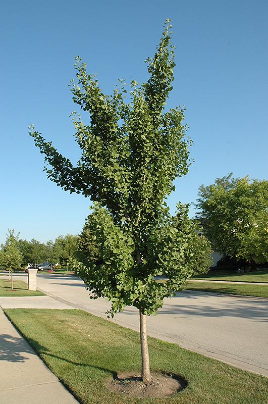 Landscape Supply Co >> Fairmount Ginkgo (Ginkgo biloba 'Fairmount') in Raleigh ...