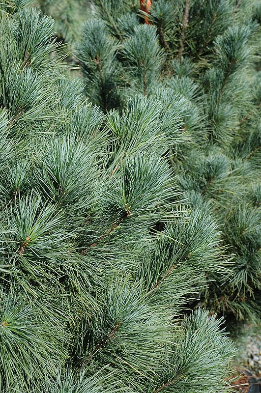 Ammerland Western White Pine Pinus Monticola Ammerland