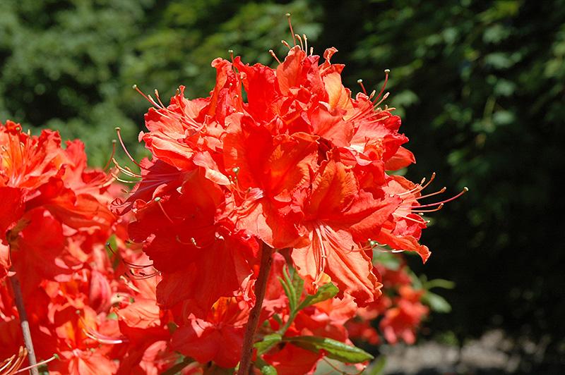 English Garden Flowers Raleigh Nc: Balzac Azalea (Rhododendron 'Balzac') In Raleigh Chapel
