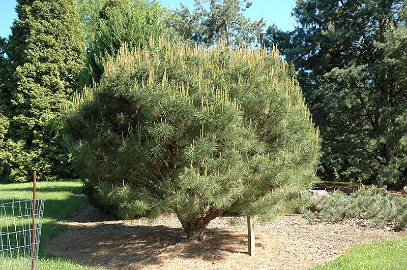 Landscape Supply Co >> Compact Japanese Umbrella Pine (Pinus densiflora 'Umbraculifera Compacta') in Raleigh Chapel ...