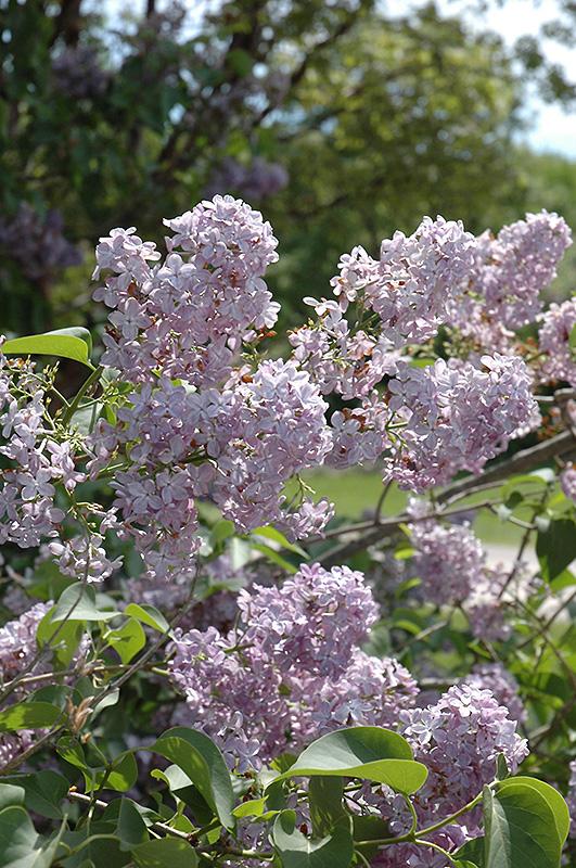 Maurice Barres Lilac (Syringa Vulgaris U0027Maurice Barresu0027) At Garden Supply  Company
