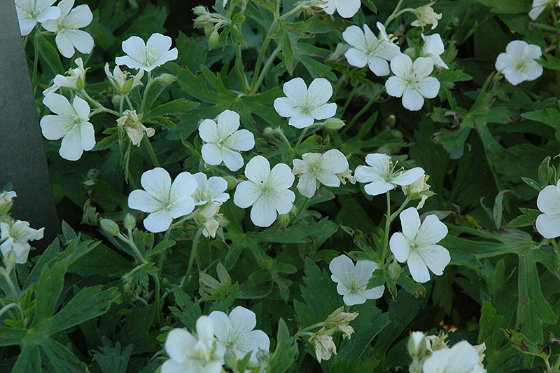 White european wood cranesbill geranium sylvaticum 39 album for Perennial wood
