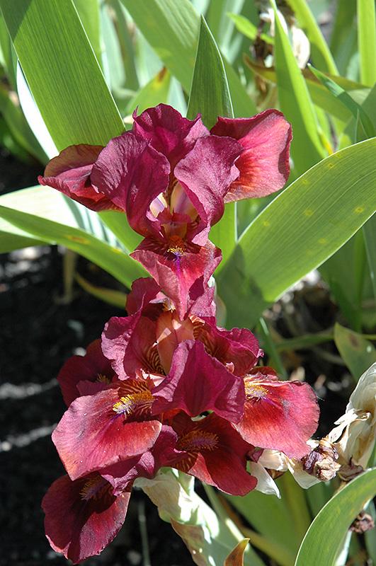 Lady In Red Iris (Iris U0027Lady In Redu0027) At Garden Supply Company