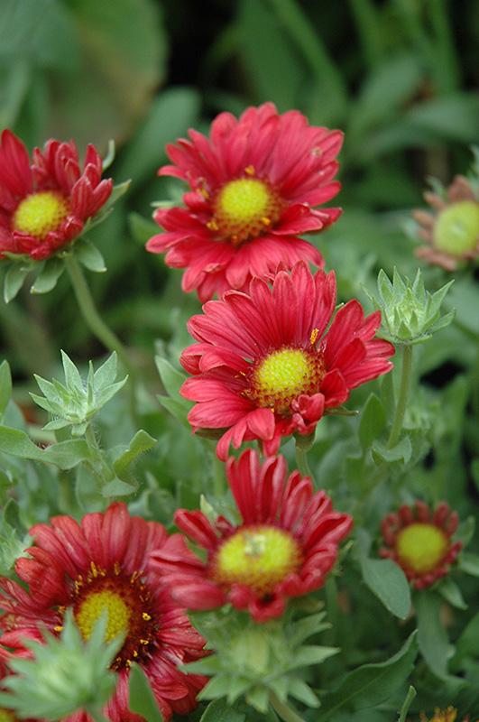 Гайлардия цветов бургундия