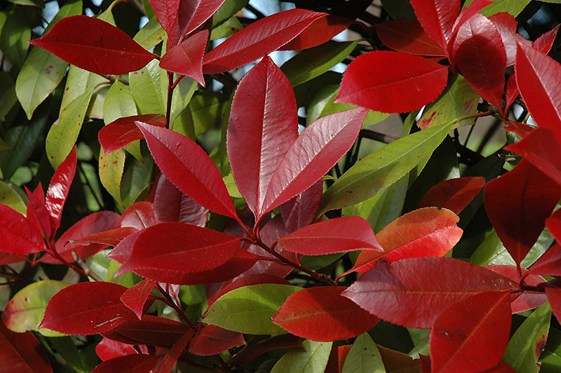red robin photinia photinia x fraseri 39 red robin 39 in raleigh chapel hill durham apex holly. Black Bedroom Furniture Sets. Home Design Ideas