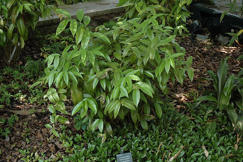 Leucothoe Axillaris Coast Leucothoe Leucothoe Axillaris 39 Dodd 39 s