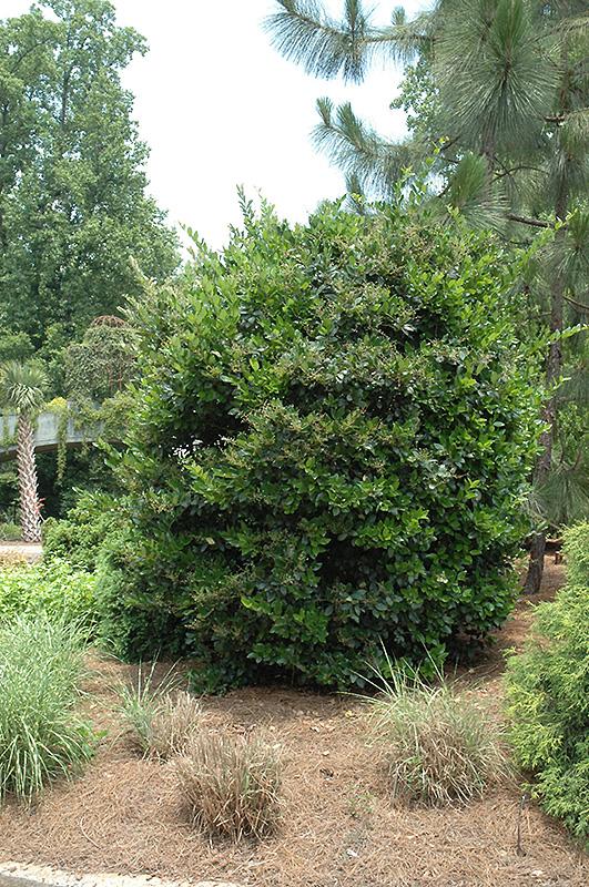 Japanese Privet (Ligustrum Japonicum) At Garden Supply Company