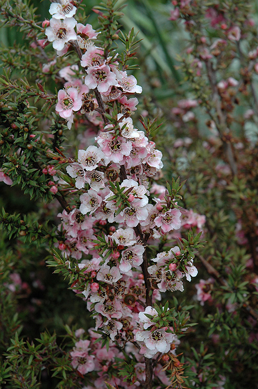 Landscape Supply Co >> Silver And Rose Tea-Tree (Leptospermum scoparium 'Silver And Rose') in Raleigh Chapel Hill ...