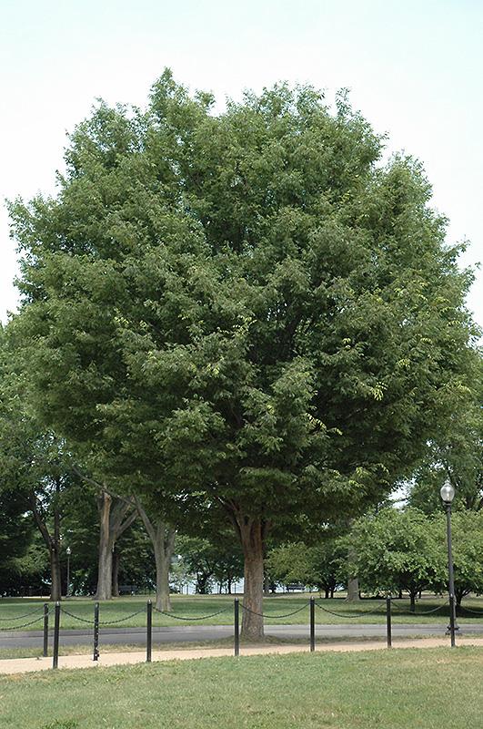 Landscape Supply Co >> Bosque Elm (Ulmus parvifolia 'Bosque') in Raleigh Chapel Hill Durham Apex Holly Springs RTP ...