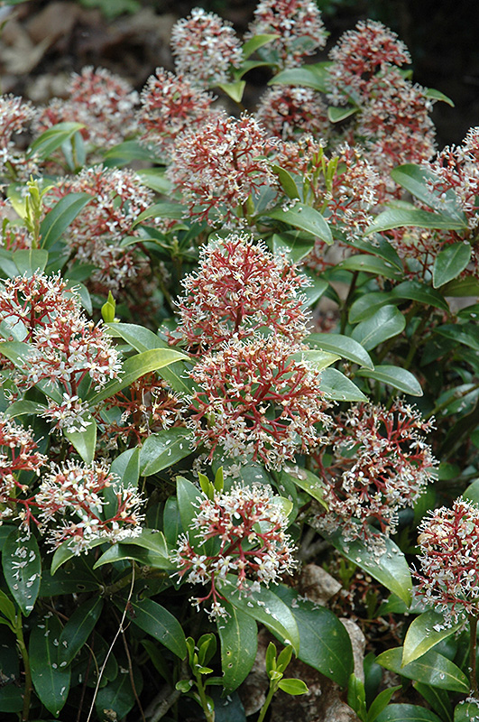 rubella japanese skimmia skimmia japonica 39 rubella 39 in raleigh chapel hill durham apex holly. Black Bedroom Furniture Sets. Home Design Ideas