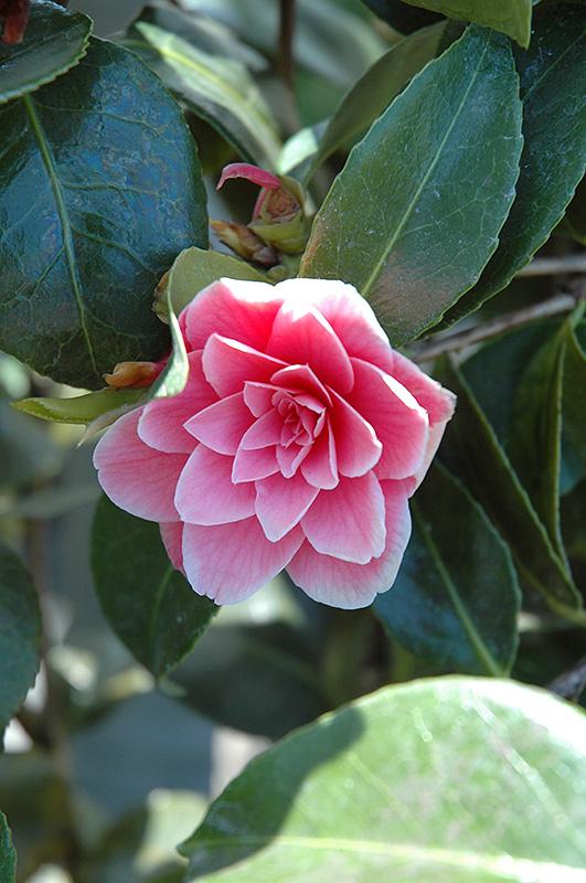 Turandot Camellia (Camellia Japonica U0027Turandotu0027) At Garden Supply Company
