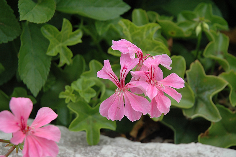 Ivy leaf geranium flowers gallery - How to care for ivy geranium ...