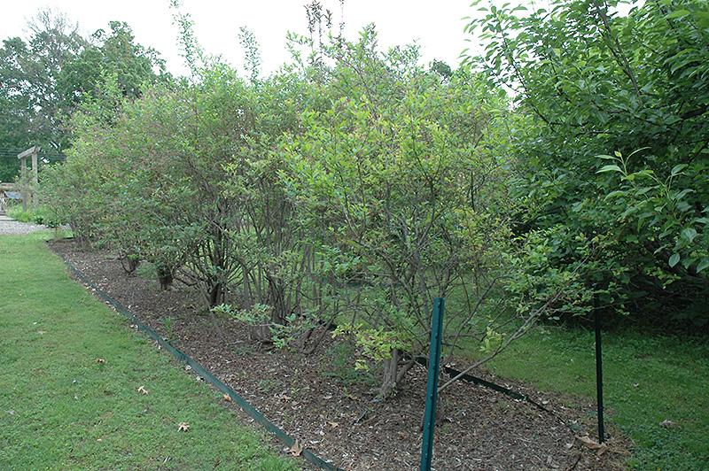 Landscape Supply Co >> Southland Rabbiteye Blueberry (Vaccinium ashei 'Southland ...