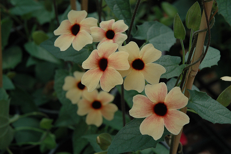 african sunset black eyed susan thunbergia alata 39 african sunset 39 in raleigh chapel hill