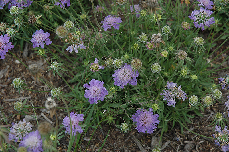 Blue Note Pincushion Flower on carolina landscape design