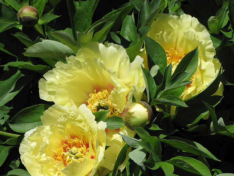 Yellow dream peony paeonia 39 yellow dream 39 in raleigh for Dream plants for the natural garden