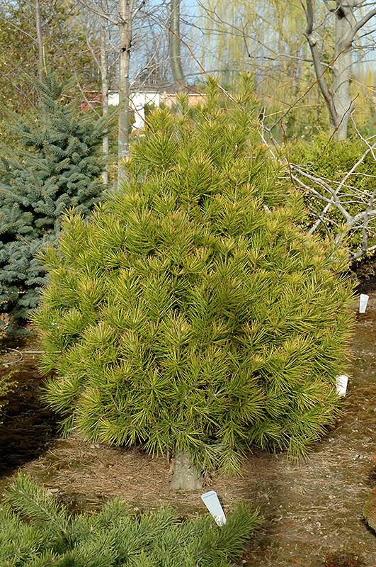 Rowe Arboretum Lacebark Pine Pinus Bungeana Rowe