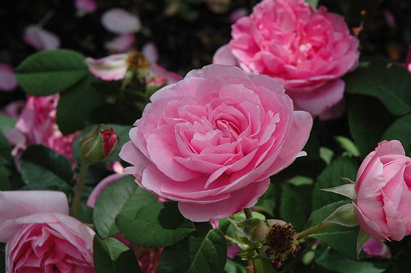 gertrude jekyll rose rosa 39 gertrude jekyll 39 in raleigh. Black Bedroom Furniture Sets. Home Design Ideas