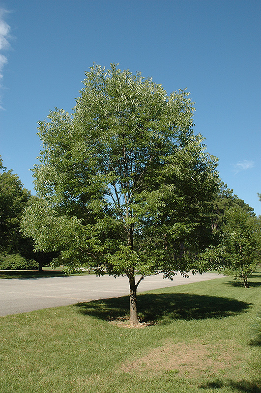 Landscape Supply Co >> Champ Tree Green Ash (Fraxinus pennsylvanica 'National 1999') in Raleigh Chapel Hill Durham Apex ...