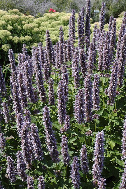 blue fortune anise hyssop agastache 39 blue fortune 39 in raleigh chapel hill durham apex holly. Black Bedroom Furniture Sets. Home Design Ideas