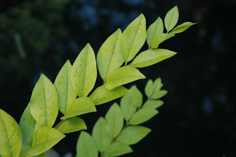 Sunshine Privet (Ligustrum Sinense U0027Sunshineu0027) At Garden Supply Company