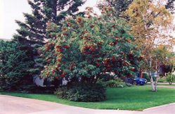 American mountain ash sorbus americana in raleigh chapel hill durham apex holly springs rtp - Planting fruit trees in the fall a garden full of vigor ...