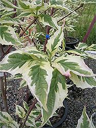 Welch Flowering Dogwood Cornus Florida Welchii In