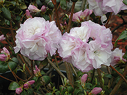 P.J.M. April Mist Rhododendron (Rhododendron 'P.J.M. April Mist') at Garden Supply Company