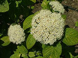 Mohican Sun Viburnum Viburnum Lantana Mohican Sun In