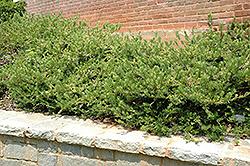 Duke gardens plum yew cephalotaxus harringtonia 39 duke gardens 39 in raleigh chapel hill durham for Duke gardens plum yew
