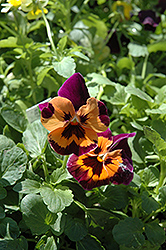 Joker Poker Face Pansy (Viola 'Joker Poker Face') at Garden Supply Company