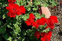 Summer Idols True Red Geranium (Pelargonium 'Summer Idols True Red') at Garden Supply Company