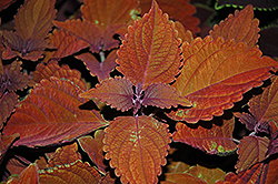 Wall Street Coleus (Solenostemon scutellarioides 'Wall Street') at Garden Supply Company