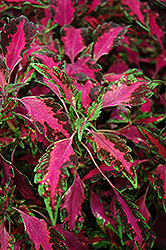 Stained Glassworks Luminesce Coleus (Solenostemon scutellarioides 'Stained Glassworks Luminesce') at Garden Supply Company